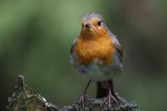 European Robin (Erithacus rubecula) royalty free stock photography