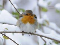 European Robin (Erithacus rubecula) stock photos