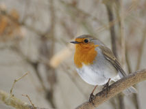 European Robin (Erithacus rubecula) Royalty Free Stock Photography