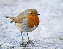 The European Robin (Erithacus rubecula) Stock Photo