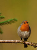 European Robin (Erithacus rubecula). This Robin was photograph in Sweden, this picture fits for christmas cards for an example, whit the red and green colors in Stock Photo