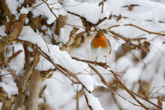 The European Robin (Erithacus rubecula) Stock Photography