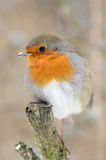 European Robin (Erithacus rubecula). A European Robin (Erithacus rubecula) on a branch while it is snowing Royalty Free Stock Images
