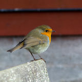 European Robin. Erithacus rubecula on autumn migration at Ottenby, Oland Island, Southern Sweden Royalty Free Stock Photography