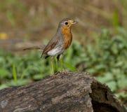 European robin (Erithacus rubecula) Royalty Free Stock Photo