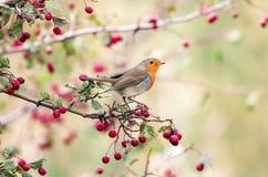 European robin Erithacus rubecula in beautiful soft  sunlight. Royalty Free Stock Photo