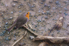 European robin (Erithacus rubecula) bird on the ground looking for food Stock Images