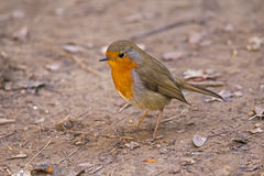 European robin (Erithacus rubecula), bird. European robin (Erithacus rubecula), known simply as the robin, is a small insectivorous passerine bird Stock Image