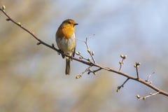 Robin redbreast Erithacus rubecula bird singing Stock Images
