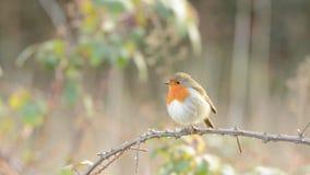 European Robin, Erithacus rubecula, Robin, Birds stock video footage
