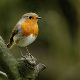 A European Robin (Erithacus rubecula). A close-up portrait of a European Robin (Erithacus rubecula) perched openly on a tree branch Royalty Free Stock Photo