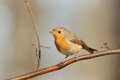European Robin - Erithacus rubecula in the forest