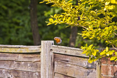 European robin Erithacus rubecula Stock Photo