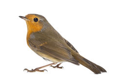 European Robin - Erithacus rubecula Stock Photo