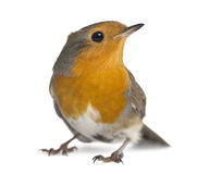 European Robin - Erithacus rubecula. Isolated on white Royalty Free Stock Images