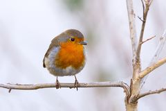 European robin (Erithacus rubecula). Known simply as the robin, is a small insectivorous passerine bird Royalty Free Stock Photography