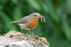 European Robin (Erithacus rubecula) with mealworms Royalty Free Stock Images