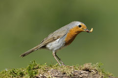 European Robin Stock Photo