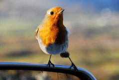 European Robin Royalty Free Stock Images
