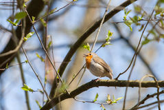 European Robin Royalty Free Stock Photos