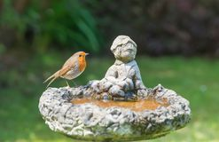 The European robin [erithacus rubecula]  perched on a birdbath. The European robin [erithacus rubecula] perched on a birdbath, in a garden on the south coast of Royalty Free Stock Photography