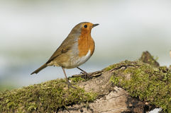 European Robin (Erithacus rubecula) Royalty Free Stock Photos