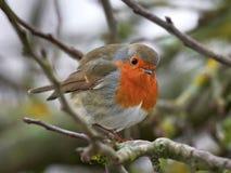 European robin Erithacus rubecula Royalty Free Stock Images