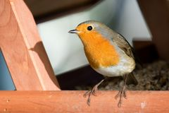 European robin (Erithacus rubecula) / Rotkehlchen. European Robin (Erithacus rubecula) on Birdhouse Stock Photo