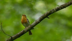 European robin Erithacus rubecula singing Stock Image