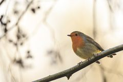 Robin redbreast bird singing Royalty Free Stock Images