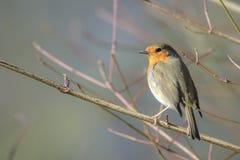 European robin bird Erithacus rubecula singing Stock Images