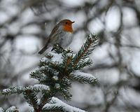European robin, Erithacus rubecula sits on a snowy fir branch