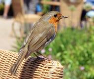 European Robin Erithacus rubecula Stock Image