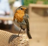 European Robin Erithacus rubecula Royalty Free Stock Photography