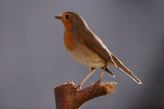 European Robin Stock Photos