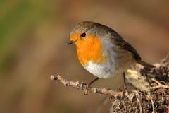 European Robin - Erithacus rubecula Royalty Free Stock Image
