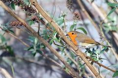 The European Robin (Erithacus rubecula), royalty free stock photos