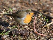 European robin (Erithacus rubecula) Stock Images