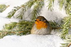 European Robin - Erithacus rubecula sitting, perching in snowy winter, spruce with the snow in the background,  simply as robin or