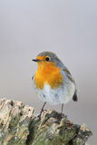 European Robin (Erithacus rubecula) Stock Photography