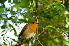 The European robin. (Erithacus rubecula) sitting on the twig Stock Photos