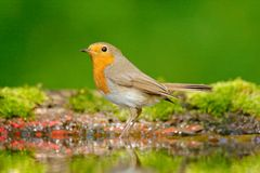 European Robin, Erithacus rubecula, sitting in the water, nice lichen tree branch, bird in the nature habitat, spring, nesting tim. E Royalty Free Stock Photo