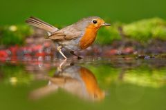 European Robin, Erithacus rubecula, sitting in the water, nice lichen tree branch, bird in the nature habitat, spring, nesting tim. E royalty free stock images