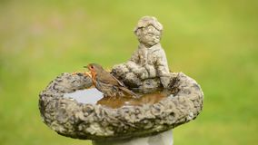 European robin takes an early morning bath. European robin [Erithacus rubecula] takes an early morning bath, taken in a garden in the south of England stock video footage