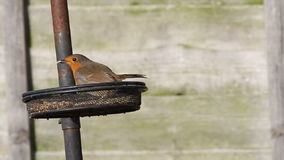 European Robin ( Erithacus rubecula) stock video