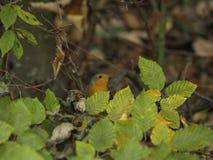 European Robin Erithacus rublecula. In Romania Vrancea Mountains Carpathian waiting in a fagus sylvatica tree Stock Image