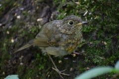 The European robin. royalty free stock photography