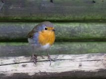 European Robin on a fence Royalty Free Stock Image