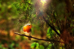 European Robin. In the forest Stock Photo