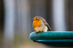 European robin on a frosty metal pipe. European robin & x28;Erithacus rubecula& x29; sitting on a frozen carpet drying rack on a very cold October morning Stock Photos